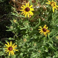 Aren't they beautiful? . . What are they? They look kinda like brown eyed susans but the leaves are really soft. I don't remember them being that way before. Maybe I just wasn't paying attention.  #flowers #flowerid #plantid #Texas #zone8a #GardenWithJulia