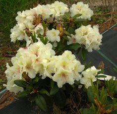 Rhododendron 'Alli'. Låg, bred dvärgsort. Ljusgula blommor i månadskiftet maj-juni. Ca 1 m hög och 2, 5 m bred.