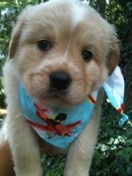 Chris Christie is an adoptable Spaniel Dog in North Wales, PA. Salutations everyone! My name is Chris Christie, but you can call me Chris! I'm a 6 week old Spaniel mix pup weighing in at over 5.5.lbs!...