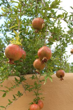 Pomegranates - edible landscaping