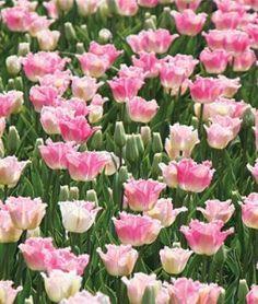 Izumi Tulip