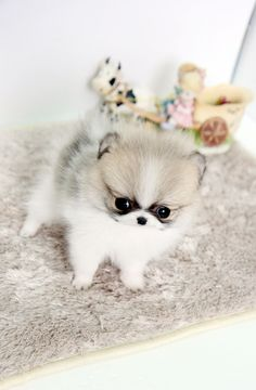 micro teacup pomeranian...adorable....it's so cute I can't stop laughing!!