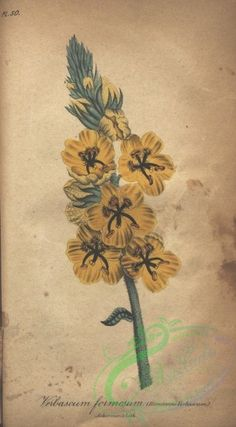 Handsome Verbascum, verbascum formosum - high resolution image from old book. Old Book Pages, Art Clipart, Picture Collection, Botanical Prints, Floral Flowers, Botany, Wall Collage, Handsome, Bloom