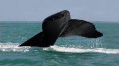 Baleias jubarte no litoral sul da Bahia