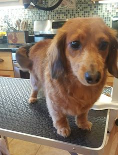 Long hair dachsund