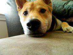 This guy...so stinkin' cute!!! #pups #shibainu