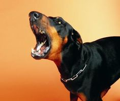 What Type of Dogs Attack People the Most Often? Here are some interesting facts from the American Veterinary Medical Association for people to consider. Gender is the most common factor in all attacks. Not breed as reported by certain media groups. and the statement or report also goes on to say this,Breed alone is ineffective as a means of determining a dogs tendency to bite or attack either people or other canines!! Which is just another piece of Proof showing the prejudice of BSL.