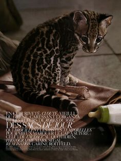 Baby ocelot in Vogue Paris. my future pet.