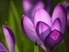 23 Beautiful Spring Wallpapers for Your Desktop: Purple Crocus by WallpaperStock
