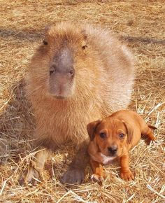 capybara and dog