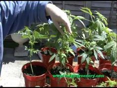 Basic Guide to Cannabis Hemp Cultivation - from seed to early vegetative state Hemp, Cannabis, Seeds, Gardening, Plants, Lawn And Garden, Ganja, Plant, Planets