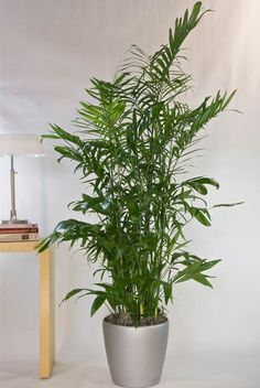 Bamboo Palm As An Interior House Plant Indoor Bamboo 400 x 300