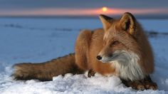 Red Fox (Vulpes vulpes) on snow at sunset, Kamchatka, Russia by subarunio. Wow! View Large!