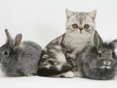 Blue-Silver Exotic Shorthair Kitten with Baby Silver Lionhead Rabbits Snoopy Cat, Animals And Pets, Cute Animals, Lionhead Rabbit, Wonder Pets, Exotic Shorthair, Cat Breeds, Spirit Animal, Blue And Silver