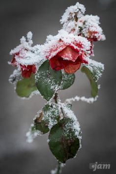 Frozen Red Rose