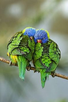 Love how these beautifully colored birds are snuggled up to each other.
