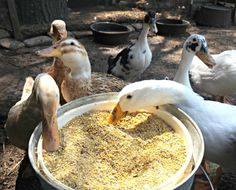 If you're considering adding ducks to your backyard chicken flock, you might be…