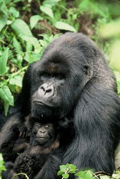 Gorillas, Uganda by safari-partners, via Flickr