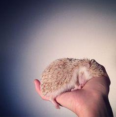 Tokyo-based photographer, Shota Tsukamoto, and his pet hedgehog, Darcy [photos]