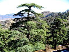Variabilité intraspécifique du Cèdre de l'Atlas (Cedrus atlantica manetti) en Algérie.