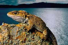 The Tuatara. Clinging to life on an offshore crag, a tuatara looks little different from his Jurassic relatives. Today this living fossil carries out a threatened existence in New Zealand. Wild Life, Wildlife Photography, Animal Photography, Wildlife Fotografie, Frans Lanting, Living Fossil, National Geographic Photographers, Photography Office, Wild Creatures