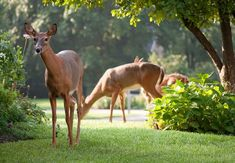 Homemade Deer Repellent and How to Use It - Bob Vila