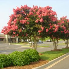 Tuscarora Crape Myrtle Seeds 50 Seeds (Lagerstroemia) Upc 646263361610 + 1 Free Plant Marker: It doesn't matter if your soil is sandy, loamy or clay. it's even drought tolerant. Plants, Myrtle Tree, Lagerstroemia, Fast Growing Trees, Crape Myrtle, Trees For Front Yard, Growing Tree, Landscape, Street Trees