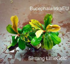 Bucephalandra Suntang Lime Gold