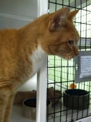 James is an adoptable Domestic Short Hair - Orange And White Cat in LaGrange Park, IL. Hi, Thanks for checking me out. I'm new to the shelter. The staff is getting to know my personality and evaluatin...