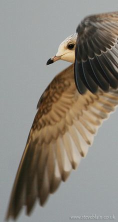 Common Gull by Steve Blain