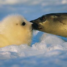 Photo by @BrianSkerry.  Happy Mothers Day! A harp seal mom sniffs her pup before feeding to make sure it is indeed her pup. A behavior known as the Harp Seal Kiss photographed near sunset in Canadas Gulf of St. Lawrence. This species faces growing challenges with the loss of sea ice due to climate change.  To see more from the frigid north follow @BrianSkerry on Instagram.  @thephotosociety @natgeocreative  #harpseals #seals #canada  #climatechange #arctic #cold #love #mothersday #mothers…