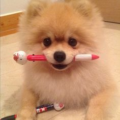 """I'm ready to be a star. Where do I sign??""  Cute Pom puppy"