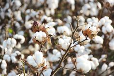 Cotton fields still decorate our landscape in the fall. You can find them from Robinsonville to Dundee