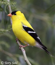 Photos of American Goldfinch - Spinus tristis - Photography by Terry Sohl - South Dakota Birds and Birding All Birds, Little Birds, Pretty Birds, Beautiful Birds, Pretty Guys, Birds Of Georgia, Yellow Finch, Parus Major, State Birds