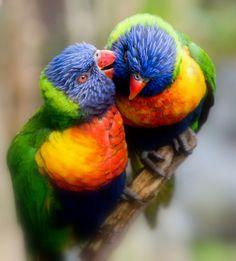 aww sweet lorikeets! AUSTRALIA : )