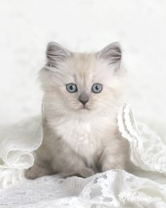 <3 French Bleu Eyes Kitten <3