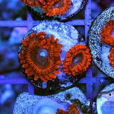 Utter Eruption and 100 other premium corals on auction. Link: http://ift.tt/2iXb4wS  #piecesoftheocean #poto #allmymoneygoestocoral #reefhobby #reefaholic #saltwaterpassion #saltwatertank #aquariumlyfe #coralfrags #eatsleepreef #aquariumhobby #reefaquarium