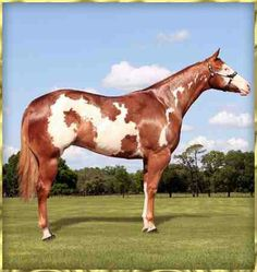 Paint horses aqha