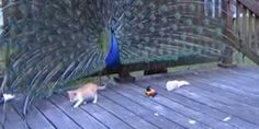 Forget buying your kitten fake mice, laser pointers or string. Just show it a full-grown peacock displaying its feathers -- that's all the kitty toy it'll ever need.   For proof, watch the video above to see a 5-week-old kitten bravely pawing at a ...