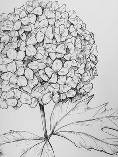 Viburnum drawing