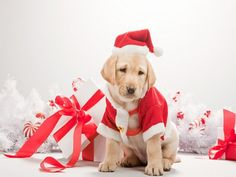 77 best Pet wallpapers for Christmas images on Pinterest | Christmas ...