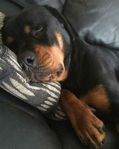 The Funny Rottweiler Puppy Pictures - Always Pawsome Big Dogs, I Love Dogs, Puppy Love, Cute Puppies, Cute Dogs, Dogs And Puppies, Doggies, Animals And Pets, Cute Animals