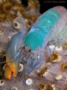 The Pistol Shrimp is the most amazing bubble blower in the world ;). The little guy uses his claw to form and shoot what is called a cavitation bubble. This bubble implodes and produces a momentary heat blast equal to the sun and stuns its victim. Awesome little creature!