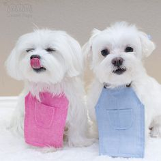 Happy Tongue Out Tuesday🎉😛! Maltese Mix, Teacup Maltese, Puppies For Sale, Dogs And Puppies, Doggies, Maltese People, Maltipoo, Havanese, Animals And Pets