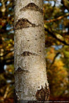 Tronc d'un jeune bouleau - Forêt de Rambouillet (Vallée de Chevreuse, Yvelines) .