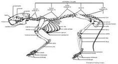 rat skeletal system illustration with parts anm thesis the woods rh pinterest com rat bones diagram Rat Skeletal System