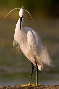 Little Egret (Egretta garzetta) is a small white heron. It is the Old World counterpart to the very similar New World Snowy Egret. Kinds Of Birds, All Birds, Little Birds, Love Birds, Exotic Birds, Colorful Birds, Colorful Feathers, Pretty Birds, Beautiful Birds