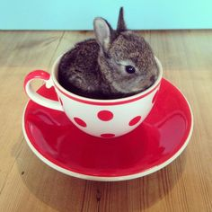 cute bunny pictures, this one is called: bunny of tea Tiny Bunny, Cute Baby Bunnies, Funny Bunnies, Teacup Animals, Animals And Pets, Funny Animals, Cute Little Animals, Tier Fotos, Cute Birds