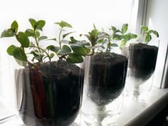 Self-watering upcycled soda bottle herb planters