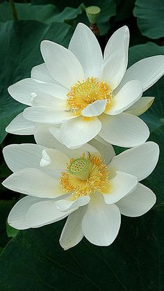 White lotus, or what we called water lilies when I was little.
